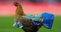 Blackburn chicken: Venky's protest